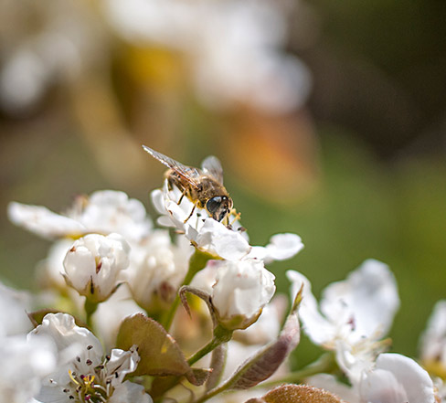 Photo of a bee resting on a white flower.