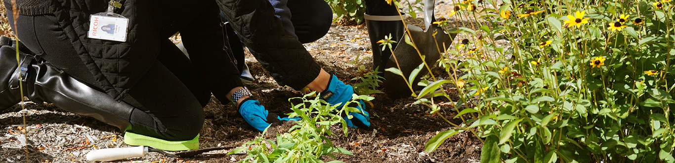 Photo of Ricoh employees planting a plant in a garden.