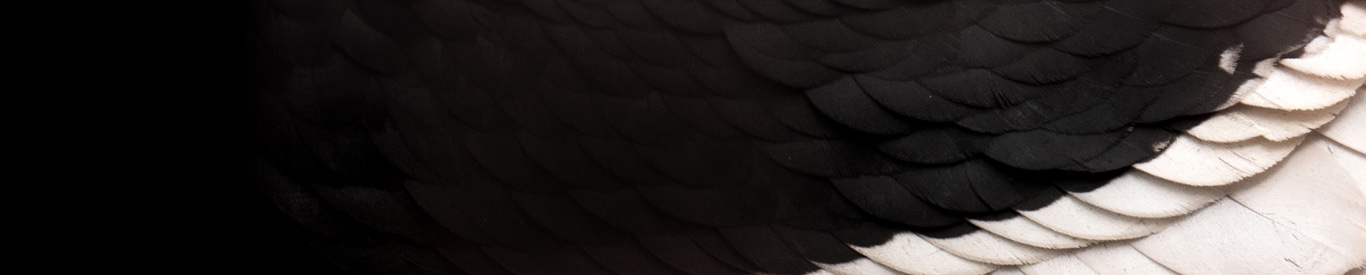 Close up of black feathers with white accent