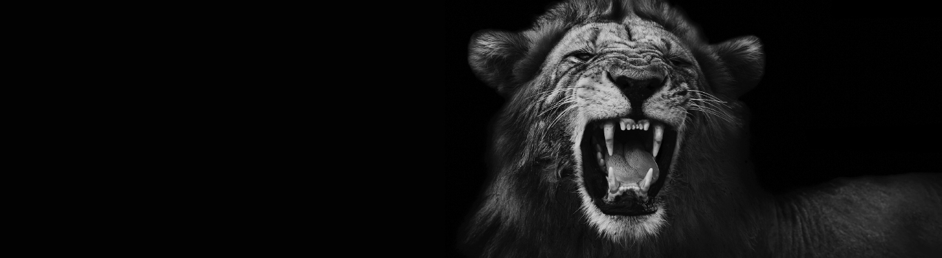 Black and white photo of lion.